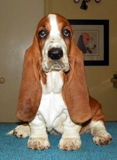 BASSET HOUNDS--WHAT A BEAUTY--
