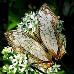 Common Map Butterfly (Cyrestis thyodamas)