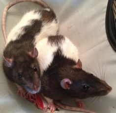 My rats: Blinkin and Boo