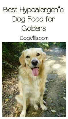 Finding the right hypoallergenic dog food for Golden Retrievers isn't complicated, but while you're searching you might want to choose one that addresses common health issues in these dogs. Check out our tips!