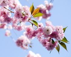 Boston Public Garden, Garden S, Flowering Trees, Cherry Blossoms, Spring, Flowers, Plants, Cherry Blossom, Blossom Trees