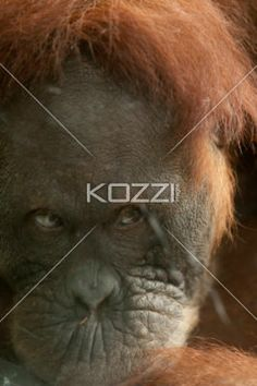 sad chimp - Close up photo of a sad Chimpanzee.
