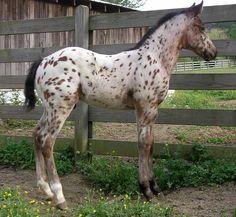 Palisades presents Appaloosa Stallion, Dreamin Dun, few spot son of Dreamfinder. Most Beautiful Horses, All The Pretty Horses, Animals Beautiful, Horse Photos, Horse Pictures, Appaloosa Horses, Leopard Appaloosa, Baby Horses, Horse World