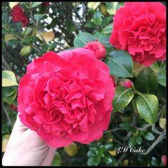 Sugar Camellia for Grandma by Lisa Templeton