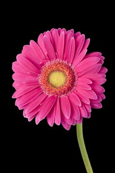 Big pink Gerber daisy with green centers Gerbera Flower, Gerbera Daisies, Pink Flowers, Flower Images, Flower Photos, Flower Iphone Wallpaper, Stock Flower, Cheap Stock Photos, Daisy Love