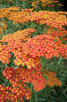 Achillea 'Terra Cotta' - one of our perennially favorite yarrows with soft yellow-orange flowers June - Aug. Deadheading can extend the bloom period. Foliage grows H, flowers Terra Cotta, Prado, Plant Design, Garden Design, Plants To Attract Bees, Fleur Orange, Orange Plant, Achillea Millefolium, Drought Tolerant Plants