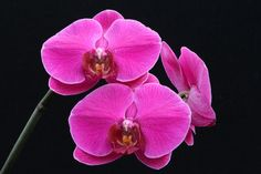 The Northwest Orchid Society draws from the Seattle area and is larger than our own Mount Baker Orchid Society. Description from orchidsinbloom-ron.blogspot.com. I searched for this on bing.com/images
