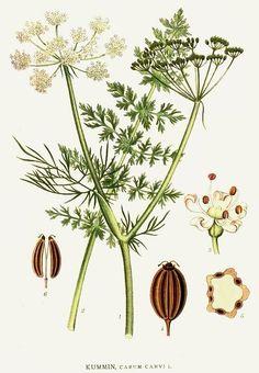 Bilder ur Nordens Flora by Carl Axel Magnus Lindman, Vintage Botanical Prints, Botanical Drawings, Botanical Art, Botanical Illustration, Biennial Plants, Impressions Botaniques, Flora, Herbs, Nature