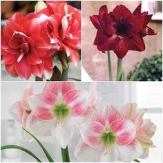 These large, exotic blooms will brighten any home during a long Canadian winter. Amarillis, Canadian Winter, Rarity, Lilies, Indoor Plants, Bulbs, Perennials, Floral Design, Exotic