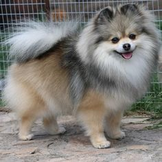 Foxy Nose - kleinspitz and pomeranian, Breeder Svetla Koleva, Bulgaria