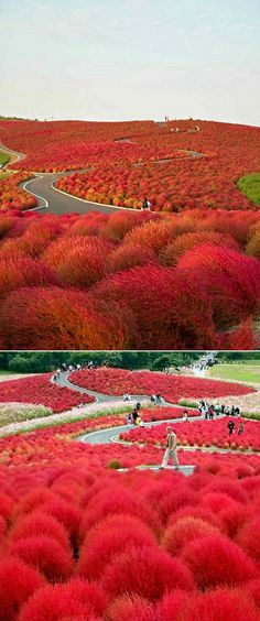 A romantic stroll amongst those pretty flower bushes of the Hitachi Seaside Park in Japan.