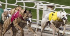 An inquiry into the Australian greyhound racing industry revealed almost 17,000 young dogs were killed each year.