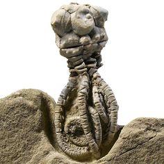 Fossil Crinoid - Jimbacrinus Bostocki Crinoid #fossil #crinoid #homedecor