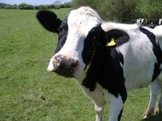 I love cows.  The only animals that are both cute and delicious.