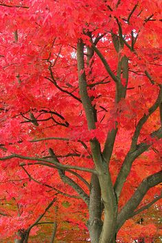 ~~ Fiery Reds ~ red maple trees in the fall by Frank Townsley~~