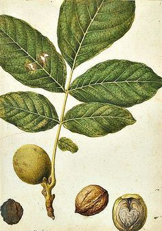 Watercolour Date: ca. 1575 (painted) Artist/Maker: Le Moyne de Morgues, Jacques, born 1533 - died 1588 (painter) Materials and Techniques: water-colour and body-colours Museum number: Tree Illustration, Botanical Illustration, Botanical Drawings, Botanical Prints, Tree Leaves, Plant Leaves, Photo Fruit, Flower Catalogs, Palm Tree Drawing