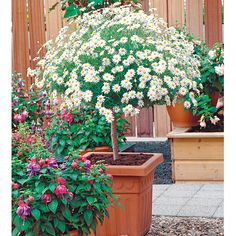 Marguerite Plant - Mini Standard White at Suttons Seeds White Flowering Plants, Tall Plants, Herb Garden, Home And Garden, Sutton Seeds, Canna Lily, Balcony Plants, Hardy Plants, Planting Flowers