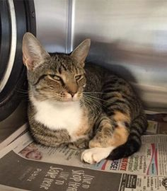 ***SIGNED OFF FOR EUTH!!! LAURA WILL BE EUTHANIZED AT 9AM!! If you can adopt, adopt-to-rehome, or rescue, you MUST email .RescuePets@HillsboroughCounty.org BEFORE 9AM with the words DO NOT EUTH and the Animal ID# in the subject line (serious adopters/foster/rescues only). Include your name and contact information and let the shelter know you can pick up the cat tomorrow. DO NOT email unless you are personally picking up the cat! Laura A28519496 2 year old spayed female Ready to go