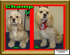 Champ was back! Just in time to be all cleaned up and smelling good for Christmas. Small Breed, Little Dogs, Cocker Spaniel, Dog Grooming, Own Home, Champs, Your Dog, Christmas, Animals