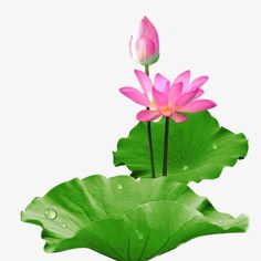 Lotus Leaves, Plant Leaves, Lotus Flowers, Conception D'applications, Water Lilies Painting, Ancient Egypt Art, Flowers Perennials, Pastel Art, Funny Art