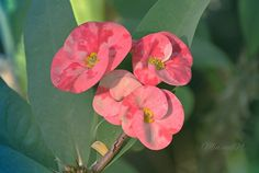 """"""" Euphorbia milli"""""""
