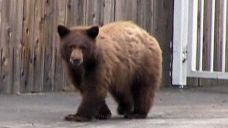Elderly couple oblivious to close encounter with bear | Fox News Video