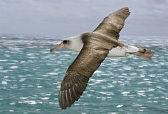 Inspiration - An albatross's wingspan reach up to 12 feet, or 3.7 meters. (Lanting F, 2008 )