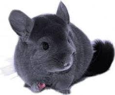 violet chinchilla