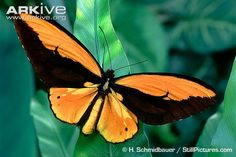 Ornithoptera Croesus | ... butterfly videos, photos and facts -