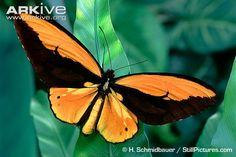 Ornithoptera Croesus
