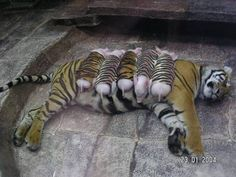 """ A tiger mother lost her cubs from premature labor, shortly after she became depressed and her health declined. She was later diagnosed with depression. So they wrapped piglets up in tiger cloth, and gave them to the tiger. The tiger now loves these pigs and treats them like her babies."""