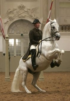 The Levade. Lipizzan and rider from the Spanish Riding School in Vienna, Austria perform the airs above the ground. Pretty Horses, Horse Love, Beautiful Horses, Animals Beautiful, Horse Photos, Horse Pictures, Dressage, Spanish Riding School Vienna, Lipizzan