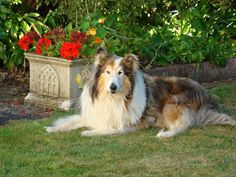 Bailey - Old boy here in this shot, long gone now. but such a wonderful confident dog! Such fun and they are dedicated to their owners Rough Collie, Collie Dog, Sheltie, Dog Art, Dog Stuff, Confident, Corgi, Doodles, Fun