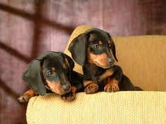 Dachshund puppies! Cutest things ever!