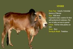 LORD KRISHNA- The Supreme Lord, the source of all other incarnation and everything is inseparable from His Cows. He is a cowheard boy (GWALA). The Supreme Lord loves His cows s Dairy Cow Breeds, Breeds Of Cows, Cow Photos, Cow Pictures, Gado, Beef Cattle, Pet Birds, Desi, Indian