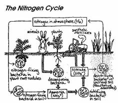 This is a great visual depicting the Nitrogen Cycle. This could be glued into students' science notebooks for their future reference.