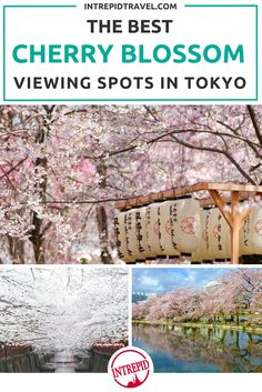 Cherry blossoms in Tokyo viewing guide, Intrepid Travel.