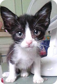 Long Beach, CA - Domestic Shorthair. Meet Kaci, a kitten for adoption. http://www.adoptapet.com/pet/12925385-long-beach-california-kitten