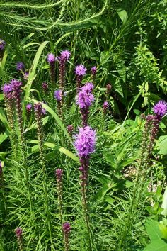 Liatris spicata - This is a lovely site and a beautiful plant. If all goes well I will have several of theses for next year's market.