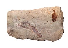 The fossils from Cretaceous age found in Lebanon - Cretaceous -A plate with Nematonotus sp., Pseudostacus sp. and a partial Dercetis triqueter, found in Hakel, Lebanon Wikipedia, the free encyclopedia