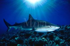 TIGER SHARK, Galeocerdo cuvier, HAWAII. dangerous menacing deadly hazardous cartilaginous Hawaii deadly hazardous cartilaginous fish horizontal underwater sharks