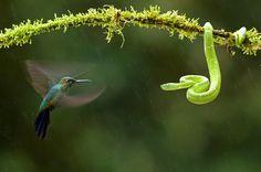 "Hummingbird and snake: ""Eye to Eye."" Bence Máté's photo"