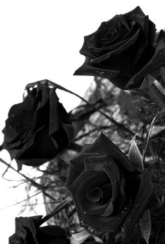 I feel like a Black Rose. been through the roughest storms, but here I am, hauntingly beauiltful. and you'll never forget me. <3