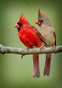 Estando en la cruz nuestro Redentor/ a sacarle espinas llegó un pajarito/manchó su plumaje con sangre del Cristo / y por eso es rojo,  y por eso es rojo,  el cardenalito!