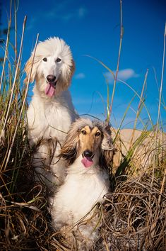 Paris and Page, Afghan hounds on the beach. © Emilee Fuss Photography