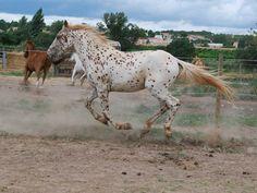 Caballo Appaloosa trotando- Los caballos Appaloosa se consideran caballos muy antiguos y se cree que son estos mismos caballos los que aparecen en las pinturas antiguas conocidas actualmente como rupestres. Es decir, el origen de esta raza se estima que tiene una antigüedad de unos 20 mil años o más.