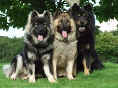 Eurasier: Rare Breed. Not AKC Recognized.     Contact: United States Eurasier Club, Ute D. Molush, President Email: udmolush@verizon.net