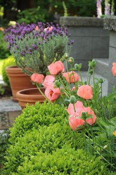 summer garden:  Popp