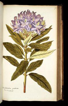 MBG Rare Books: Illustration of Rhododendron ponticum. 78 . Common name(s): , Scientific name: ,