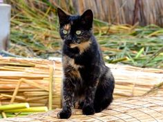 Daddy, Calico Cats, Therapy, Animals, Animales, Animaux, Animal, Healing, Animais